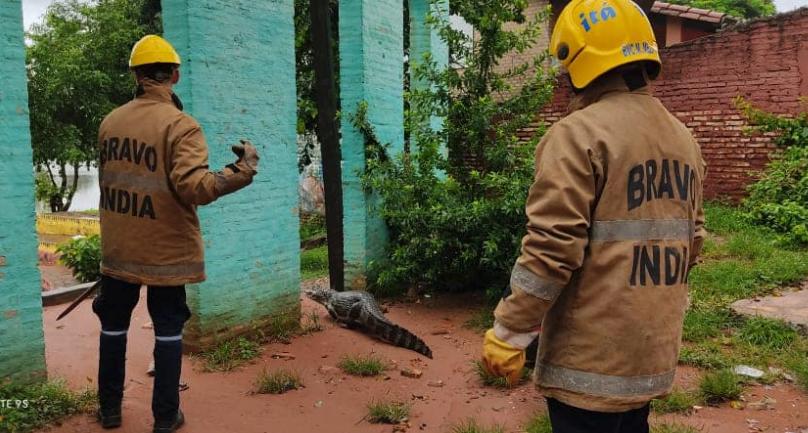 Caimanes Paraguay Crédito: Cuerpo De Bomberos Voluntarios de Itá