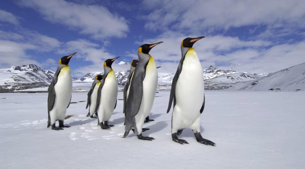 Avistan un raro pingüino amarillo, ¿por qué su plumaje es de este color?