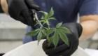 México, a pocos pasos de regular uso lúdico de marihuana