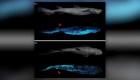Hallan el tiburón bioluminiscente más grande del mundo
