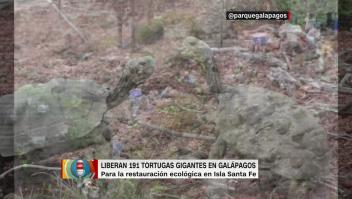 Así liberan 191 tortugas gigantes en Galápagos