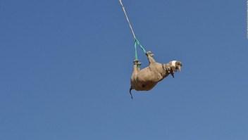 ¿Cómo trasladar a un rinoceronte? Llevándolo boca abajo