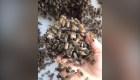 Rescata abejas sin protección y causa furor en TikTok