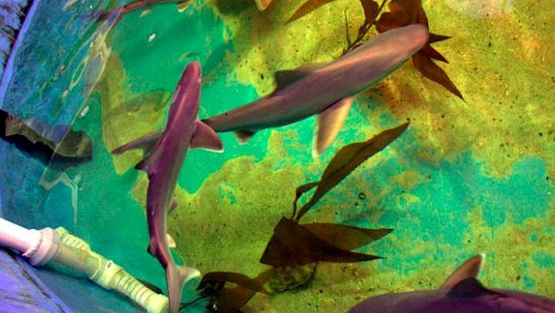 Rescatan a 7 tiburones de la piscina de contrabandista