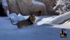 Leones se divierten en la nieve en un zoológico de EE.UU.
