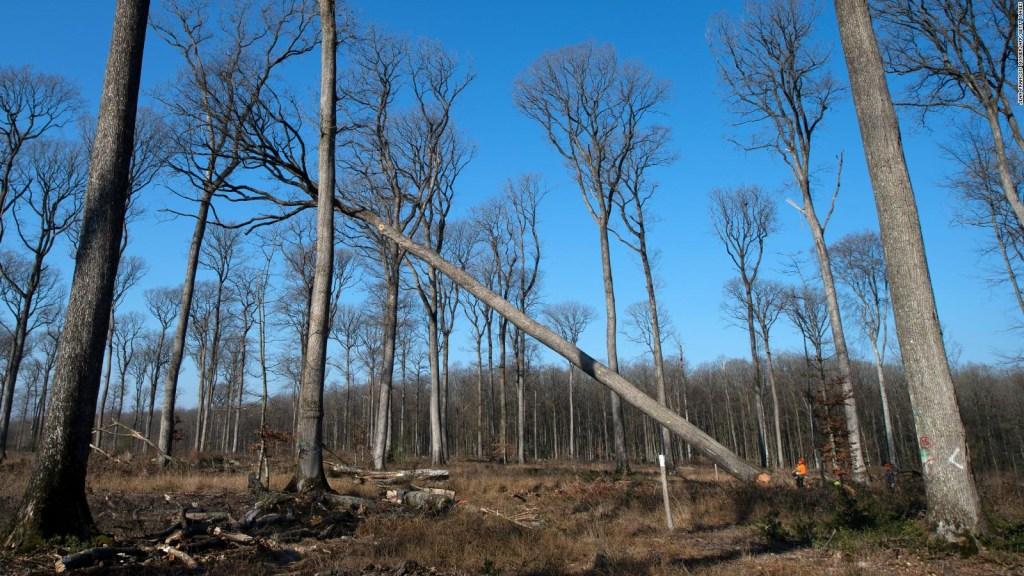 Notre Dame: usan árboles centenarios en la reconstrucción