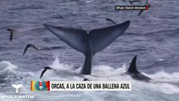 Así caza un grupo de orcas a una ballena azul