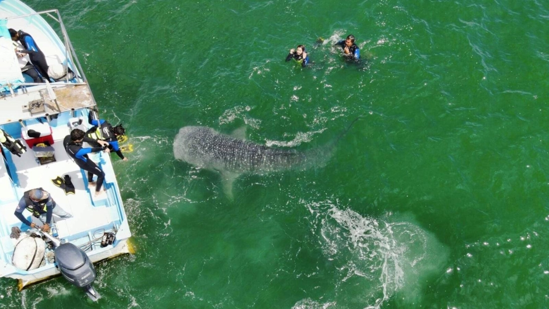 Turistas disfrutan de la compañía de enormes tiburones ballena