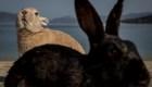 Mira estos conejos gigantes de 10 kilos