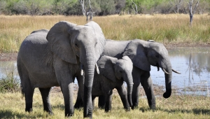 Elefantes africanos están en peligro crítico de extinción