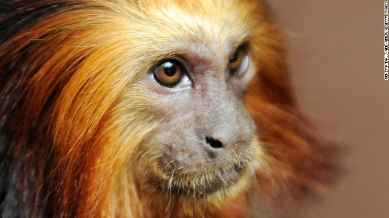 día-mundial-vida-silvestre-animales-tamarino-león-dorado