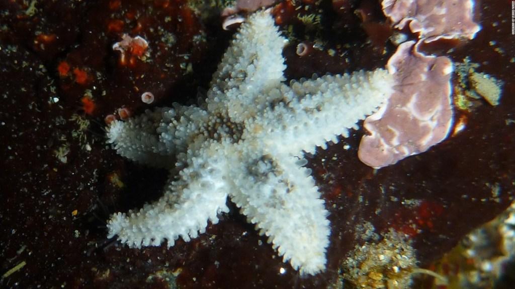 Algunas estrellas de mar son caníbales, según estudio
