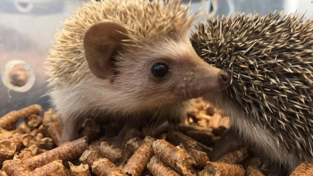 Zoológico sustituye a erizo con cepillo en Japón