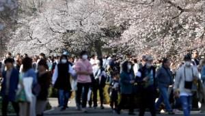 Japón cerezos Visitantes de los cerezos en Japón
