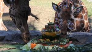 Festejo con pasteles para animales de zoológico en México