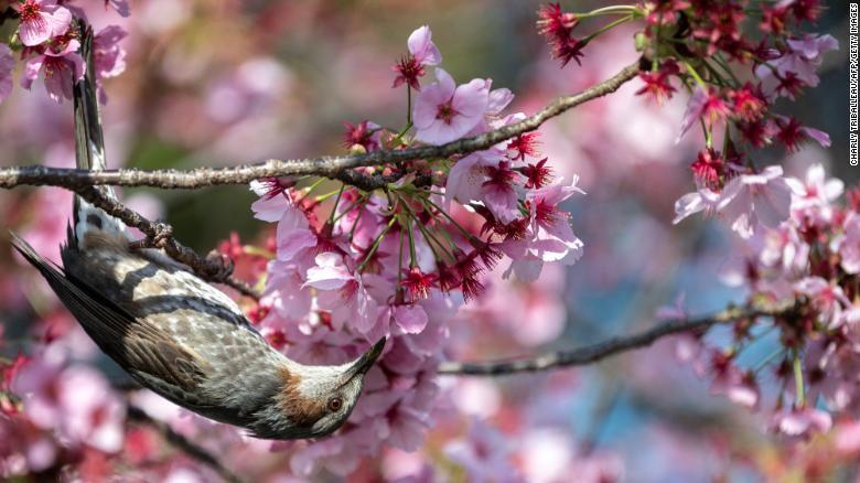 Japón cerezos