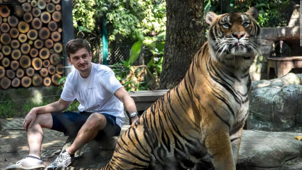 Mira la felicidad de unos tigres al recibir unas paletas