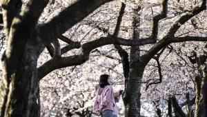 Vuela sobre los cerezos en flor en Washington
