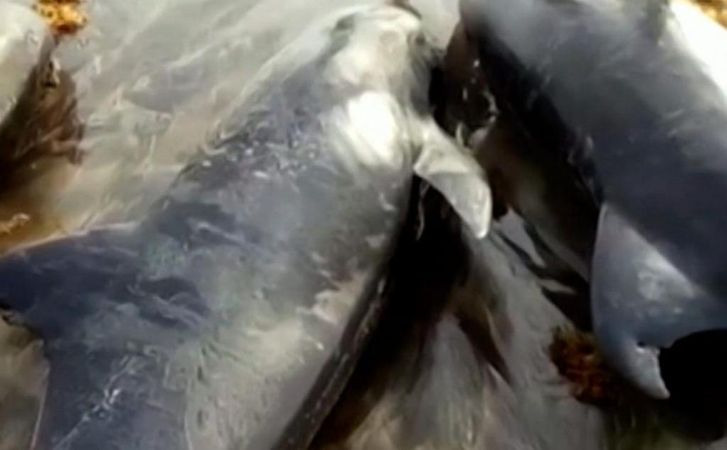 80 delfines muertos en las costas de Ghana
