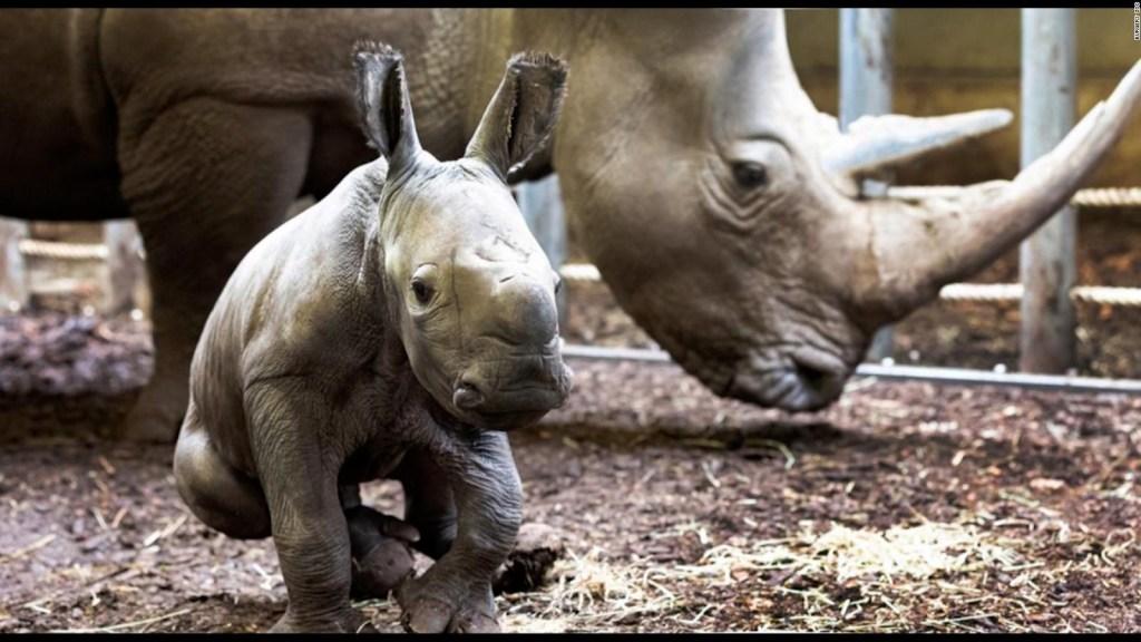 Ve a este rinoceronte recién nacido en zoológico europeo