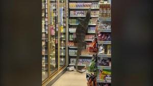 Un enorme varano asusta a compradores en Tailandia