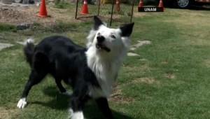 Mira cómo entrenan a los binomios caninos de la UNAM