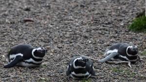 Regreso a casa: 12 pingüinos volvieron al mar