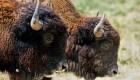 Animales a punto de extinguirse vuelven a su hábitat