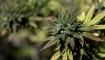 En el día 420, así van las acciones del cannabis legal