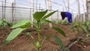 Así afecta el cambio climático a la agricultura de Centroamérica