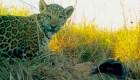 Reintroducen una familia de jaguares en Argentina
