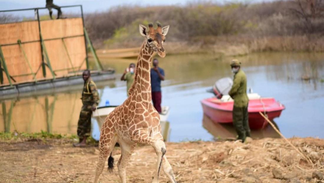 Así fue el rescate de jirafas de una isla que se hunde