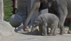 Bebé elefante cautiva a sus cuidadores