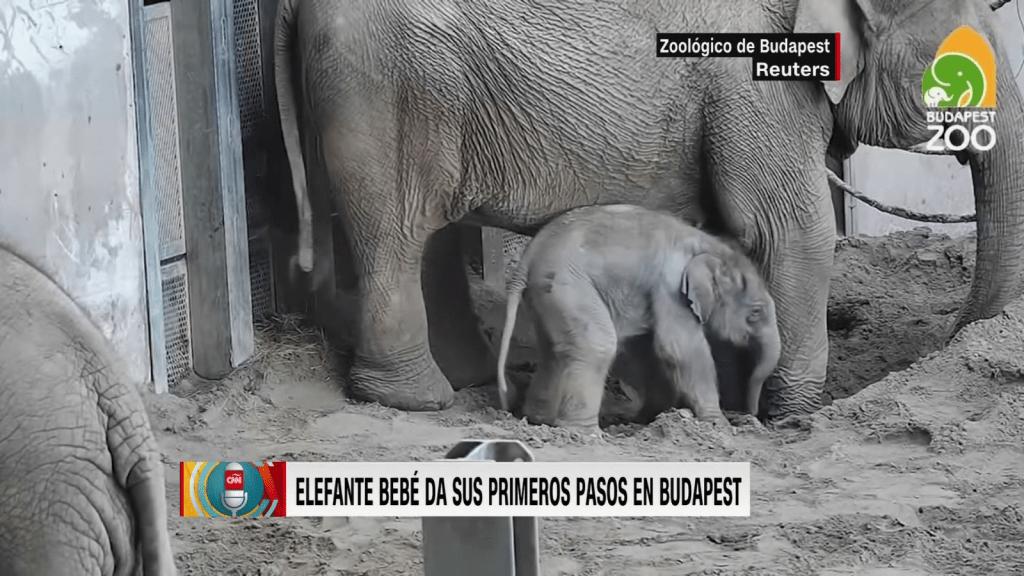 Los primeros pasos de un bebé elefante