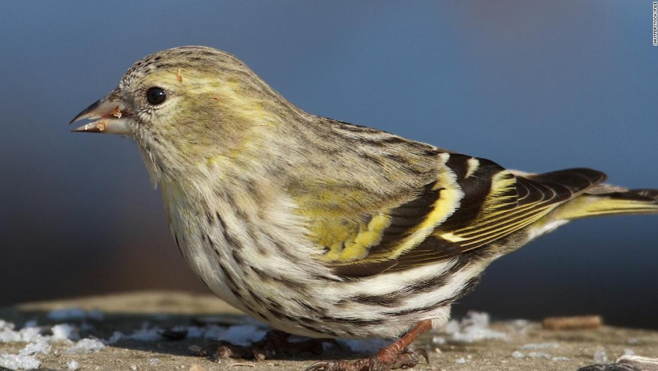 Salmonella infections in 8 states could be linked to wild songbirds, says CDC