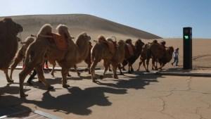 semáforo-camellos-china