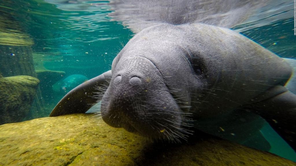 The reason manatees are dying
