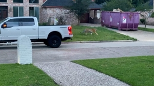 Sigue perdido el tigre de bengala visto en Houston