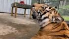 Analizan en EE.UU. proyecto de ley sobre grandes felinos