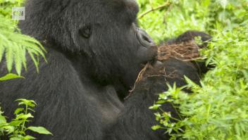 Veterinarios cuidan a gorilas en peligro de extinción