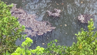 ¿Por qué son peligrosas las algas que invaden Florida?