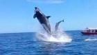 Video: una orca saltó y golpeó a un delfín en el aire