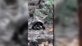 Hallan tortuga gigante de especie que se creía extinta