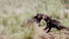 Nacen demonios de Tasmania en Australia continental
