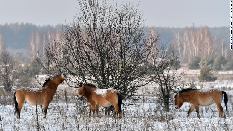 caballo de Przewalski