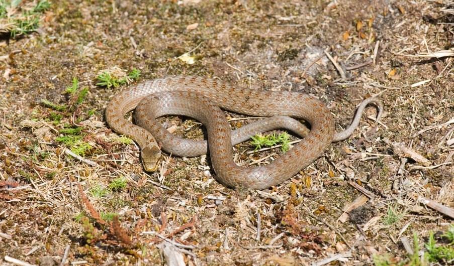 serpiente lisa europea