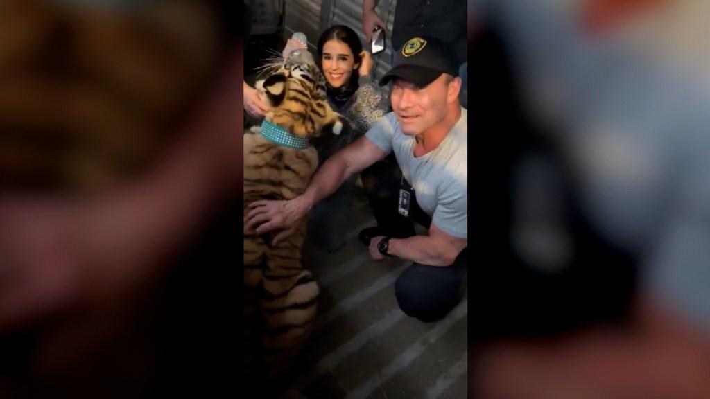 Encuentran al tigre desaparecido en Houston