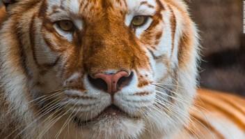 tigres-cautiverio-estados-unidos.jpeg