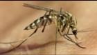 Mosquitos modificados reducen el dengue en un 77%