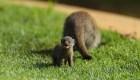 Las mangostas cuidan a crías ajenas, revela estudio